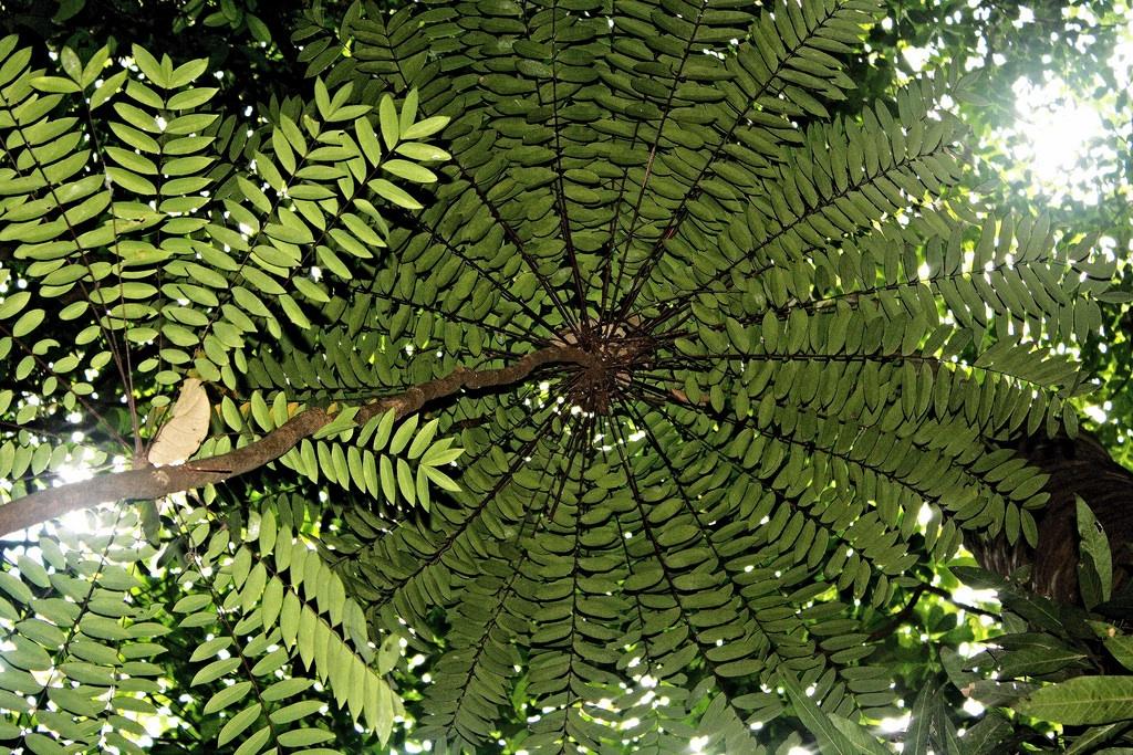 شجرة تونكات علي