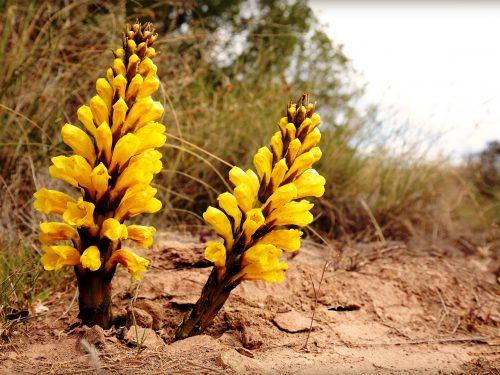 التستوستيرون و جنسنج الصحراء: عشبة جنكيز خان المفضلة